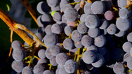 Stock Video Footage of Merlot Wine Grapes, Close Up 1