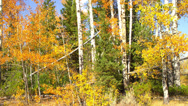 Aspens in Autumn, Camera Pans Up Stock Footage