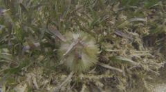 Sea Urchin CU - stock footage