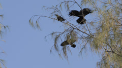 Many Crows Ravens Flock Group Black Birds Sitting Branch Tree Nature Flying Fly Stock Footage