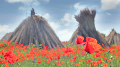 Poppy flowers dancing in the wind Stock Footage