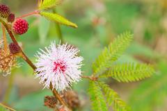 Mimosa pudica linn Stock Photos