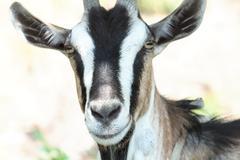 She-goat Stock Photos