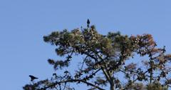 Ultra HD 4K UHD Couple Black Crow Raven Bird Sitting Tree Rook Flying Fly Flight - stock footage