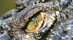 close up crocodile eye - stock footage