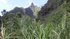 Sugarcane  ,Northern Kauai Stock Footage