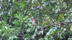 Red Crested Cardinal Stock Footage