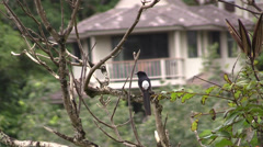 White-rumped Shama Stock Footage
