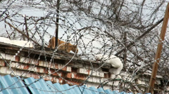Two cats behind barbed wire Stock Footage