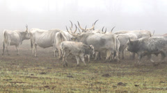 Beautiful hungarian grey bulls in a foggy day Stock Footage