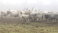 Stock Video Footage of Beautiful hungarian grey bulls in a foggy day