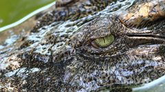 Scary eyes of a crocodile Stock Footage