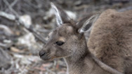 Stock Video Footage of Close up baby kangaroo looking away