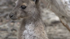 Close up baby kangaroo in Cape Le Grand National Park Stock Footage