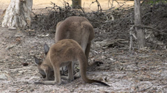 Mother and baby kangaroo eating and looking up in Cape Le Grand National Park Stock Footage