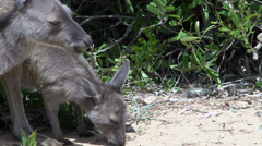Kangaroos eating close up in Cape Le Grand National Park Stock Footage