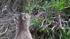Kangaroo eating leafs from a tree in Cape Le Grand National Park Stock Footage