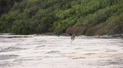 Kangaroo jumping in slow motion at the beach in Cape Le Grand National Park Stock Footage