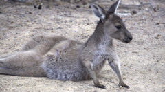 Baby kangaroo standing up and jumps away in slow motion Stock Footage