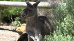 Itchy Kangaroo close up in Cape Le Grand National Park Stock Footage