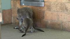 Kangaroos looking for food Stock Footage