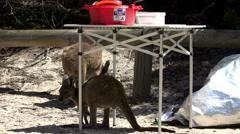Kangaroos around campsite at Lucky bay Stock Footage