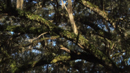 Stock Video Footage of Time lapse, WS LOW ANGLE Oak Tree Canopy