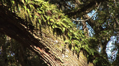 time lapse Live Oak Tree, ferns, limbs and blue sky in background - stock footage