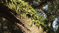 Stock Video Footage of time lapse Live Oak Tree, ferns, limbs and blue sky in background