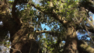 Stock Video Footage of low angle MWS 2trunk Live Oak Tree with blue sky, spanish moss and light breeze