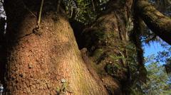 Oaks, WA Live Oak Large double trunk time lapse, breezy, spanish moss, blue sky, Stock Footage
