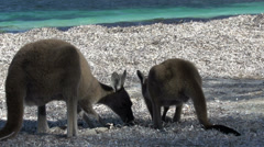Kangaroos on the beach in Cape Le Grand National Park jumping away Stock Footage