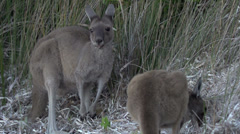 Stock Video Footage of Kangaroos eating grass in slow motion