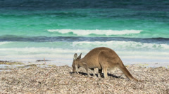 Kangaroo at lucky bay beach in Cape Le Grand National Park Stock Footage