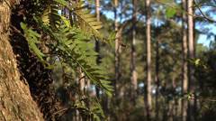 Trees, Live Oak frame left, with ferns waving in gentle breeze Stock Footage