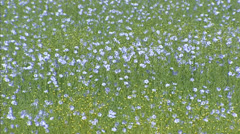 Field of pale blue blooming Flax and seedpods - full screen Stock Footage