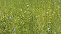 Seedpod capsules Flax - close up Stock Footage