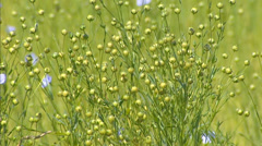 Linum usitatissimum, Seed pod capsules Flax in summer breeze - close up Stock Footage