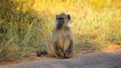 Baboon On Road 01 HD Stock Footage