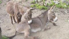 Donkeys showing affection to each other Stock Footage