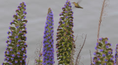Hummingbird Humming Bird Small Early Fly Spring Long Bill Feed Flowering Plant Stock Footage
