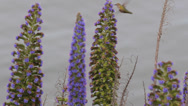 Stock Video Footage of Hummingbird Humming Bird Small Early Fly Spring Long Bill Feed Flowering Plant