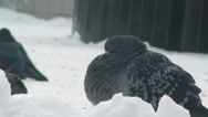 Stock Video Footage of Pigeon bird sitting on the snow cold winter snow