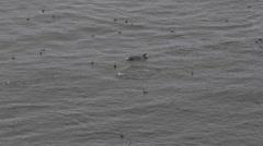 Bottlenose Dolphins Group Tursiops Truncatus Swimming Splashing Flipper Leap Day Stock Footage