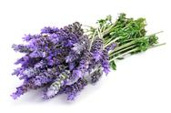 Stock Photo of lavender flowers