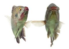 Pair Of Tilapia Fish Dancing Live Animals Studio Aquarium Shot Stock Photos