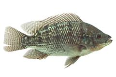 Mozambique Tilapia Isolated On White Live Animal Studio Aquarium Shot Stock Photos