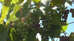 Green grapes cluster hang leaf nature country winery fresh ripe plant farm sunny Stock Footage