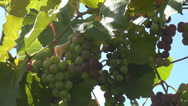 Stock Video Footage of Green grapes cluster hang leaf nature country winery fresh ripe plant farm sunny