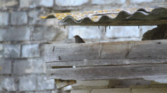 Bird between slates and near pile of bricks, flying away, Black Redstart Stock Footage